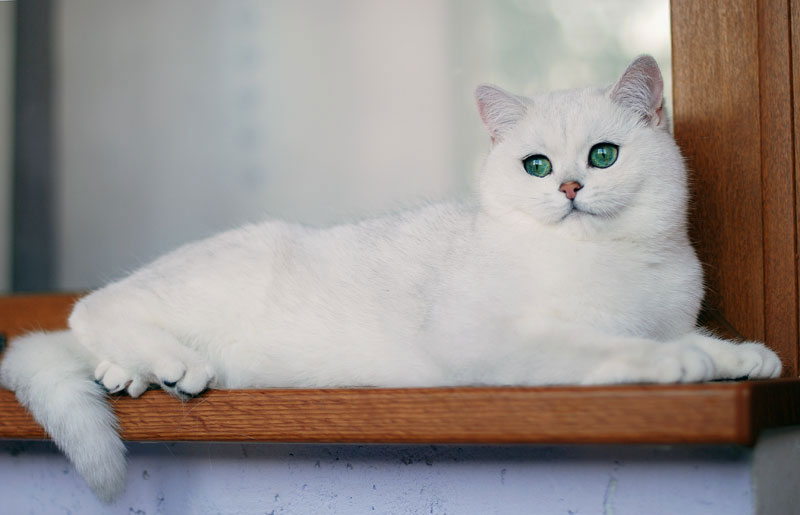 Ariadna, british shorthair, silver chinchilla